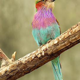 Lilas by Gérard CHATENET - Animals Birds