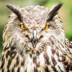 Eagle Owl by Hiram Christian - Animals Birds ( bird, animal portrait, bird of prey, eagle, owl, hoot, eyes )