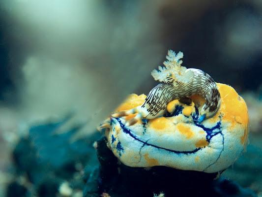 Nudibranco di Charmer