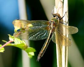 Photo: Smaragdlibel