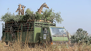 Giraffes: Africa's Gentle Giants thumbnail