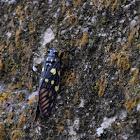 Gaeana maculata 斑蟬