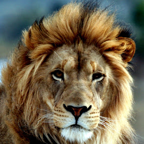 Majestic Lion by Jud Joyce - Animals Other Mammals ( cats, lion, wildlife )