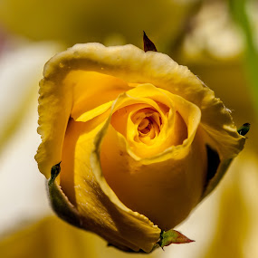Yellow Rose by Lieven Lema - Nature Up Close Flowers - 2011-2013 ( rode, yellow, varia, canon eos, garden )