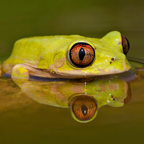 Froggy Reflection by David Knox-Whitehead - Animals Amphibians ( water, reflection, frog, green, amphibian, frogs, amphibians, eyes )