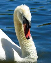 Photo: White Swan. AT&T Lake. San Ramon. Canon 20D