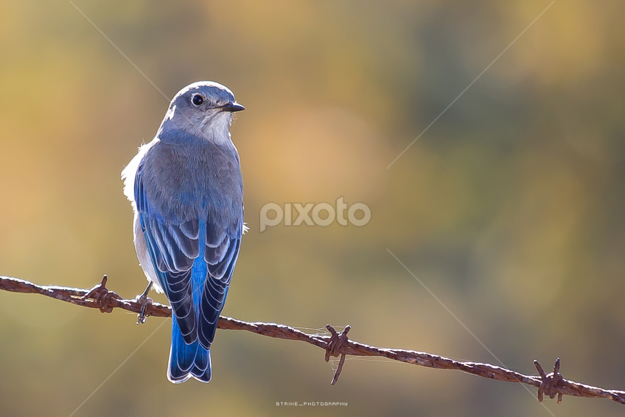 female western blue bird by Strike Taing - Animals Birds