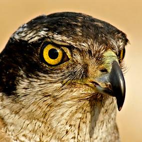 Hawk by Bob Khan - Animals Birds (  )