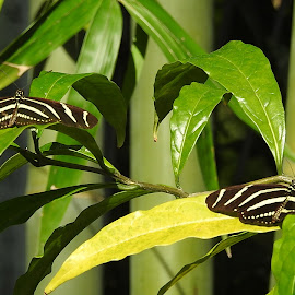 Zebra longwings in the garden by Mary Gallo - Animals Insects & Spiders ( nature, nature photo, butterfly, nature up close, zebra longwings, garden )