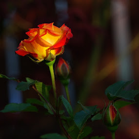 Yellow rose by Amas Art - Flowers Flower Buds ( orange, rose, yellow, photography, flower )