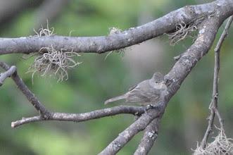 Photo: Northern Beardless-Tyrannulet (Chaparralfliegenstecher); Tolantongo, HGO