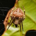 Brown Sailor Spider