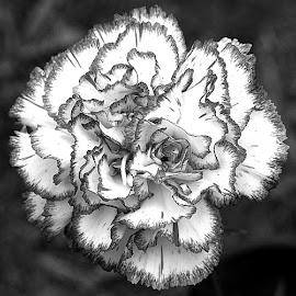 B&W Carnation by Chrissie Barrow - Black & White Flowers & Plants ( monochrome, single, black and white, petals, mono, flower )