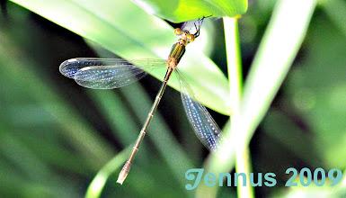 Photo: Libelle Grün  Männchen haben einen dunklen metallischen Grünton Fluginsekten (Pterygota)  Libellen (Odonata) Kleinlibellen (Zygoptera) Teichjungfern (Lestidae)  Binsenjungfern (Lestes)  Gemeine Binsenjungfer Lestes sponsa