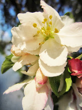 Photo: Apple blossoms at Cox Arboretum in Dayton, Ohio.