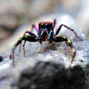 Colourful Jumping Spider