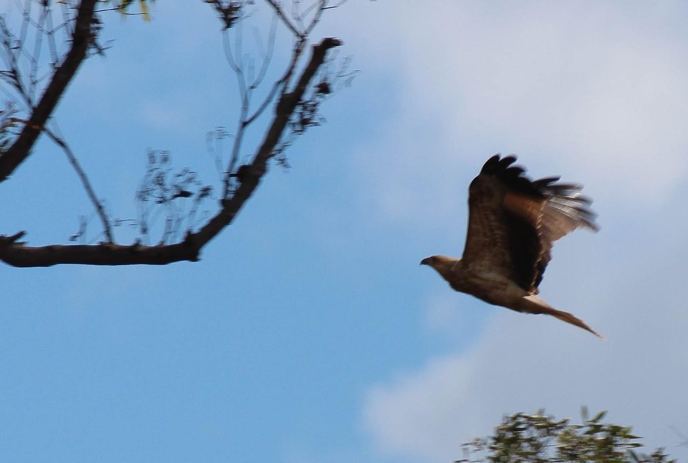 Medium Sized Brown Bird Of Prey Fraser Coast Queensland