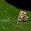 Metal mark moth