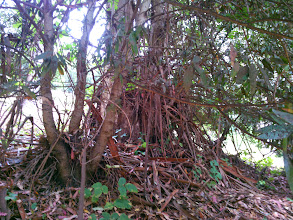 Photo: Vertically hanging bark at the base provides ample fuel to ignite the bay next to the eucalyptus.