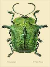 Photo: Omocerus casta, 13mm, Costa Rica, La Cruz (11°07´/-83°36´), leg. Erwin Holzer, det. Lech Borowiec