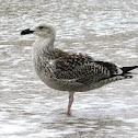 Great Black-backed Gull imm.