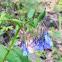 Trumpet bluebells