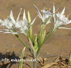 Photo: pancratium maritimum  Παγκράτιο το παράλιο....Το κρινάκι της θάλασσας είναι από τα ωραιότερα αγριολούλουδα και στολίζει τις αμμώδεις παραλίες της Κρήτης.Είναι πολυετές βολβόριζη πόα με φύλλα με μεγάλα φύλλα.Οι χαρακτηριστικοί ανάλαφροι καρποί του μοιάζουν με κομμάτια κάρβουνο και επιπλέουν στην θάλασσα που τους διασπείρει στις ακτές. Η ομορφιά του φυτού είχε εμπνεύσει τους Μινωίτες ζωγράφους που το απεικόνισαν στο παλάτι της Κνωσσού.