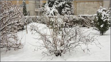 """Photo: Alun - Corylus avellana """"Contorta"""" si """"Red Majestic""""  - de pe str. Andrei Muresan - 2018.04.15"""