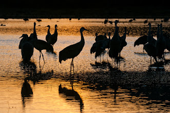 Photo: Sandhill cranes at sunset; Bosque del Apache