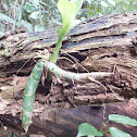 Catasetum sp