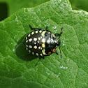 Southern green shield bug (3rd instar)
