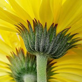 Two Gerbera by Millieanne T - Flowers Flower Arangements