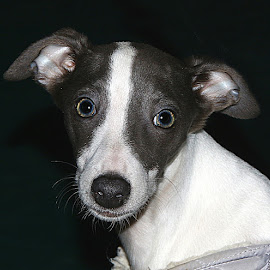 Mabel by Chrissie Barrow - Animals - Dogs Portraits ( white, puppy, portrait, dog, pet, whippet, grey )