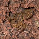 Bark Scorpion