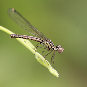 Libellago lineata by Deny Afrian Wahyudi - Animals Insects & Spiders ( outdoor, dragonflies, species, nature, animals )