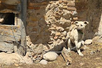 Photo: un dels gossos de Can Vila al Pla de Busa