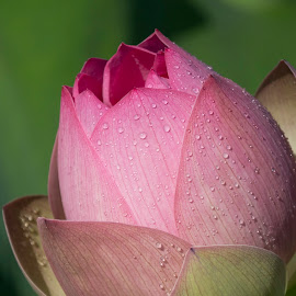Lotus droplets by Jack Nevitt - Flowers Flower Gardens ( pink, drops, outdoors, pedals, nature, dew, lotus, garden, flower )