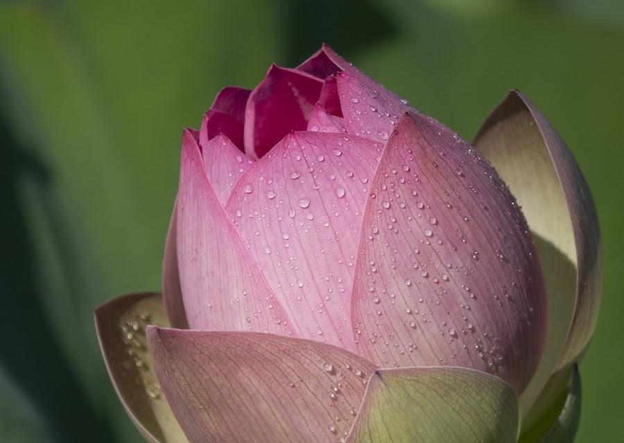 Lotus droplets by Jack Nevitt - Flowers Flower Gardens ( pink, drops, outdoors, pedals, nature, dew, lotus, garden, flower )
