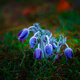 Frozen pulsatilla flowers by Stefan Sorean - Flowers Flowers in the Wild ( floral, macro, blossom, springtime, natural, beauty, nature, botany, flora, flower, spring, beautiful, wildflower, petal, pasque, background, grass, plant, purple, season, pulsatilla, meadow )