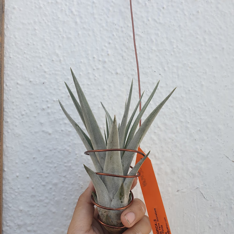 Tillandsia King Cobra by AquaticsForevers Enterprise