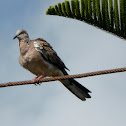 Spotted-necked dove