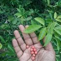 Glycosmis Mauritiana