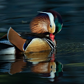 Mandarin Duck by Tommy  Lam - Uncategorized All Uncategorized (  )