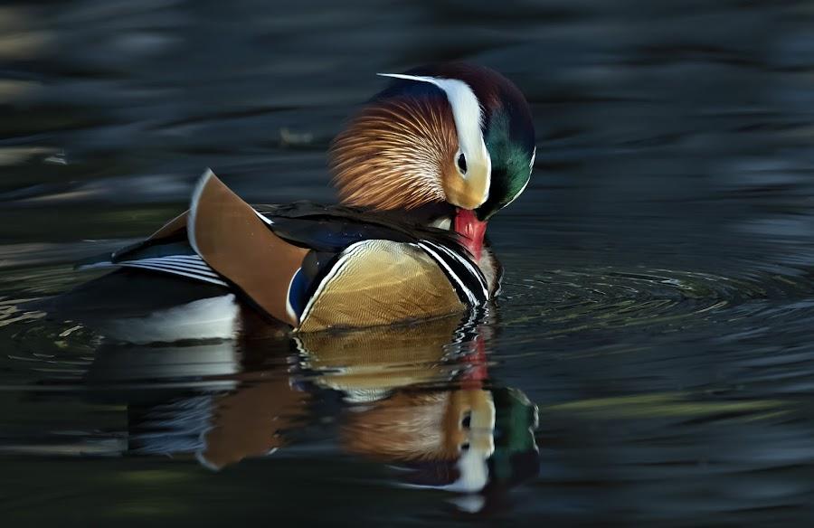 Mandarin Duck by Tommy  Lam - Uncategorized All Uncategorized (  )