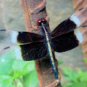 The pied paddy skimmer ♂