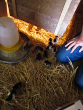 Photo: Scurrying chicks