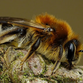 Sandpit Mining Bee by Pat Somers - Animals Insects & Spiders (  )