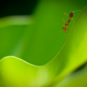 ThailANT by Johannes Schaffert - Animals Insects & Spiders ( macro, green, leaf, ant, insect )