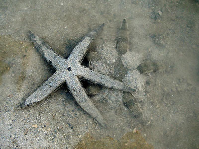 Common sea star, or sand-sifting sea star, Archaster typicus