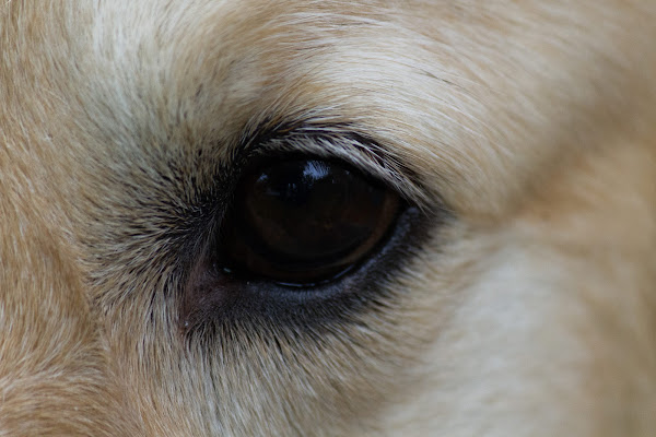 Dog's eye di BlackPuffin